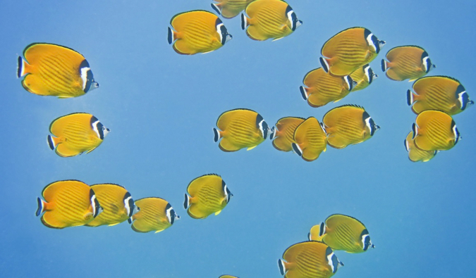 A colorful school f fish in the waters of Koh Tao, Thailand
