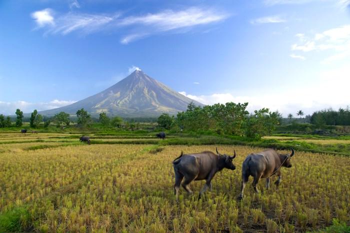 Buffalos under Mayon volcano