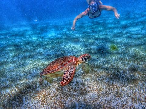 Laurel Brunvoll snorkeling with turtles